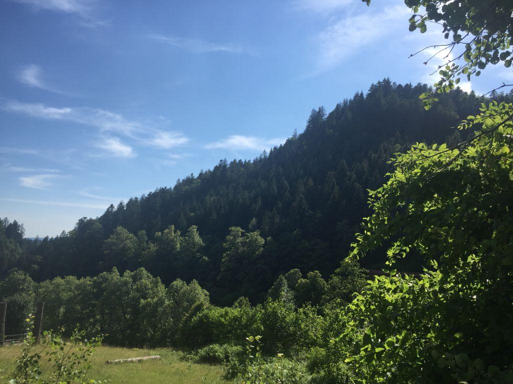 die dunklen Tannen des Schwarzwalds vor blauem Himmel