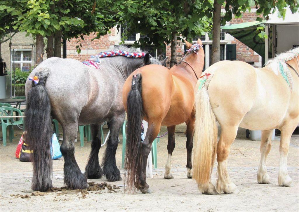 Rueckansicht von drei Ringreiter-Pferden mit geknuepftem Schweif