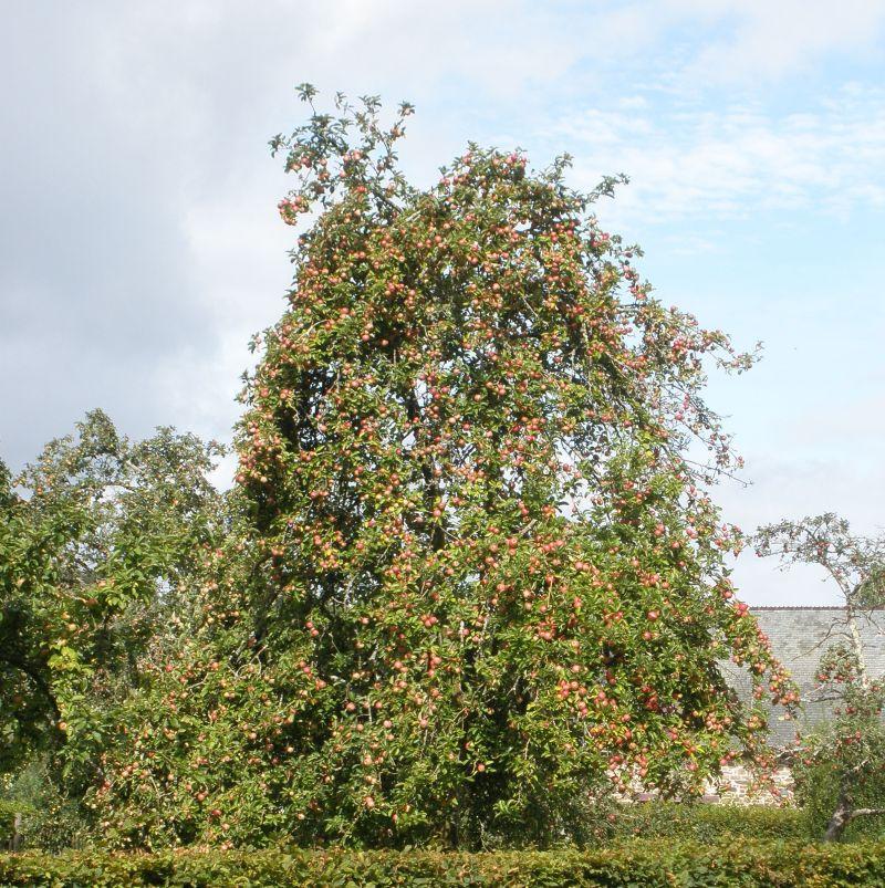 Apfelbaum mit unzähligen roten Aepfeln