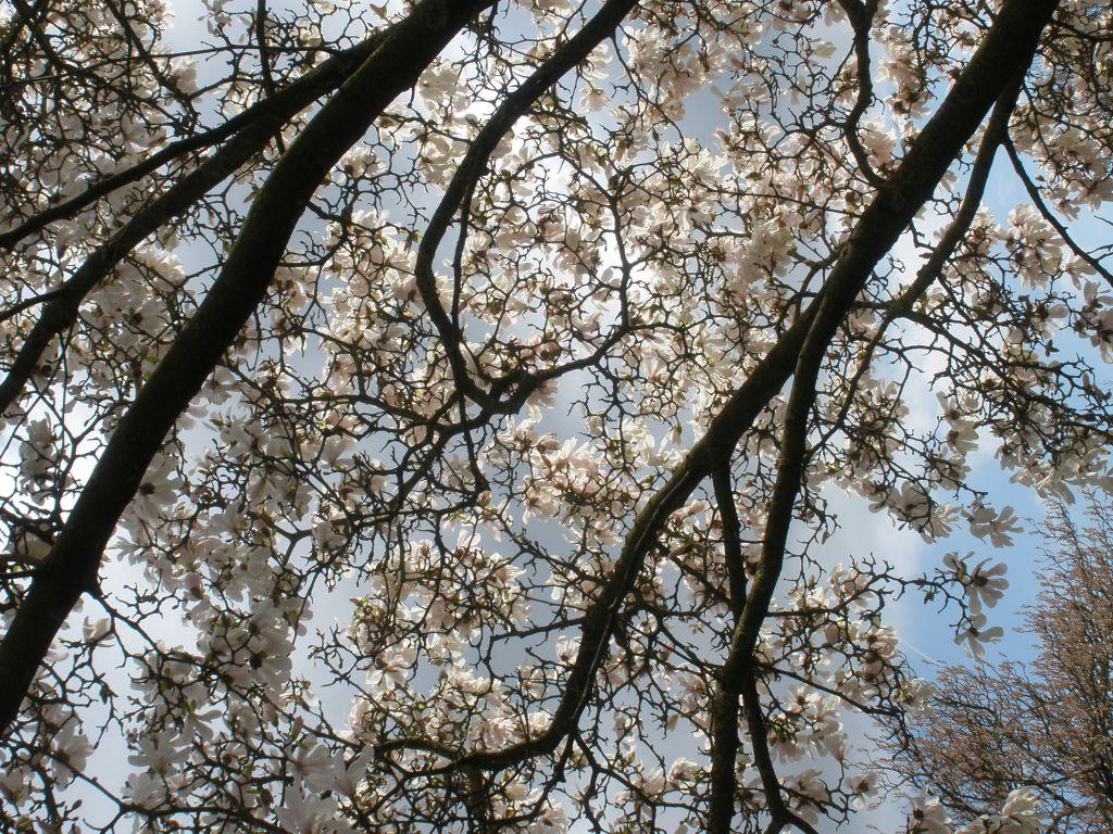 Bluehende Magnolienzweige