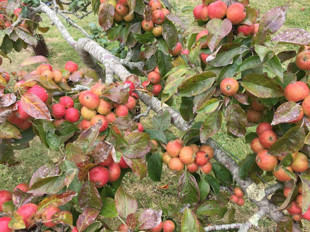 rote Aepfel aus dem Obstgarten der Abtei von Beauport
