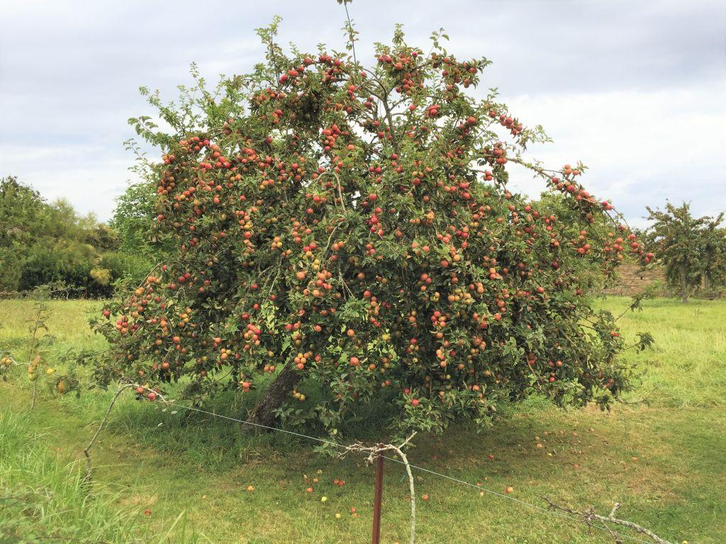 Apfelbaum im Obstgarten der Abtei von Beauport