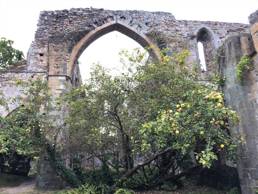 Ruine des Chors der Abteikirche Beauport mit Apfelbaum