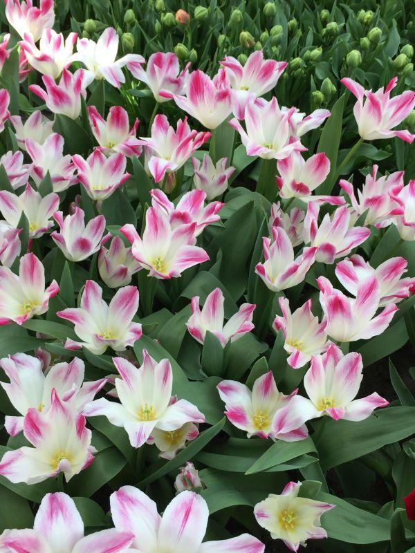 weiss-rosa Tulpen im Keukenhof bei Amsterdam