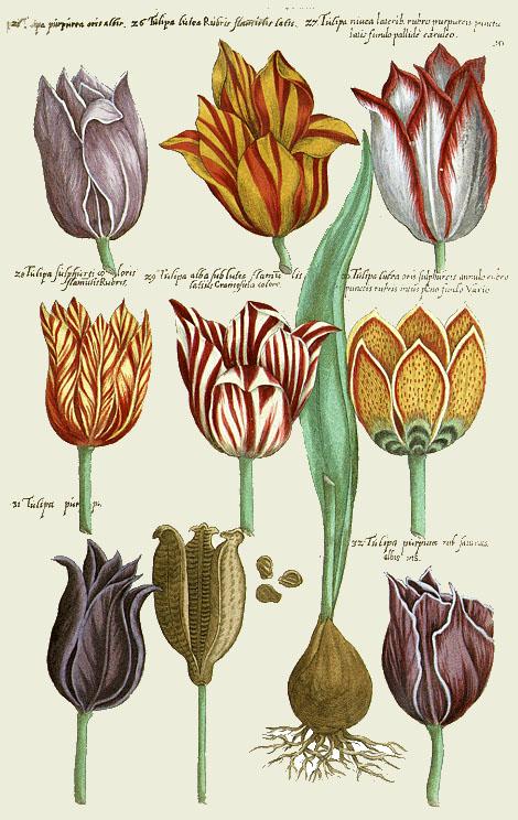 Abbildungen von Tulpen aus einem Blumenbuch aus dem 17. Jahrhundert