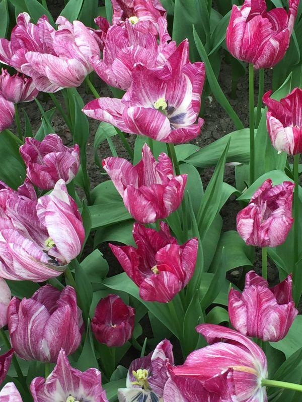 weiss-purpurn marmorierte Tulpen im Keukenhof bei Amsterdam