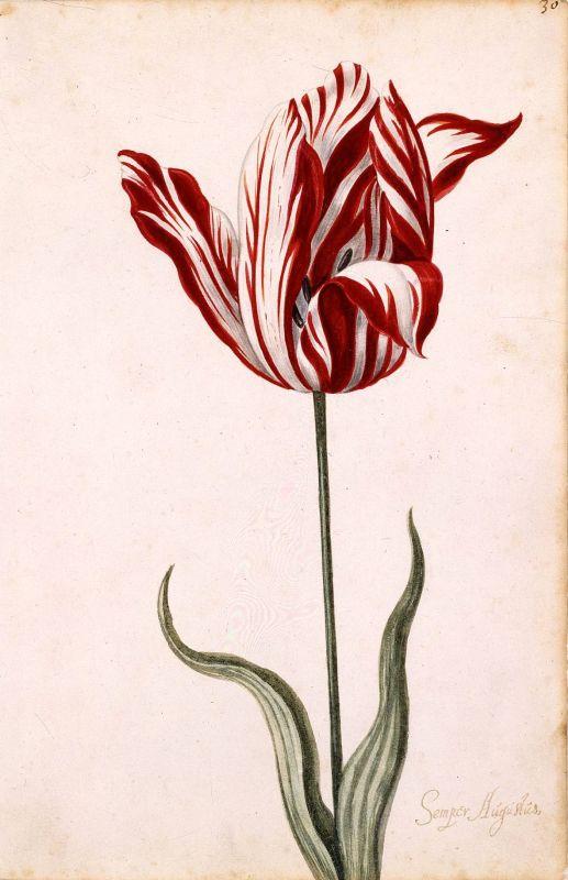 Abbildung einer Semper Augustus Tulpe