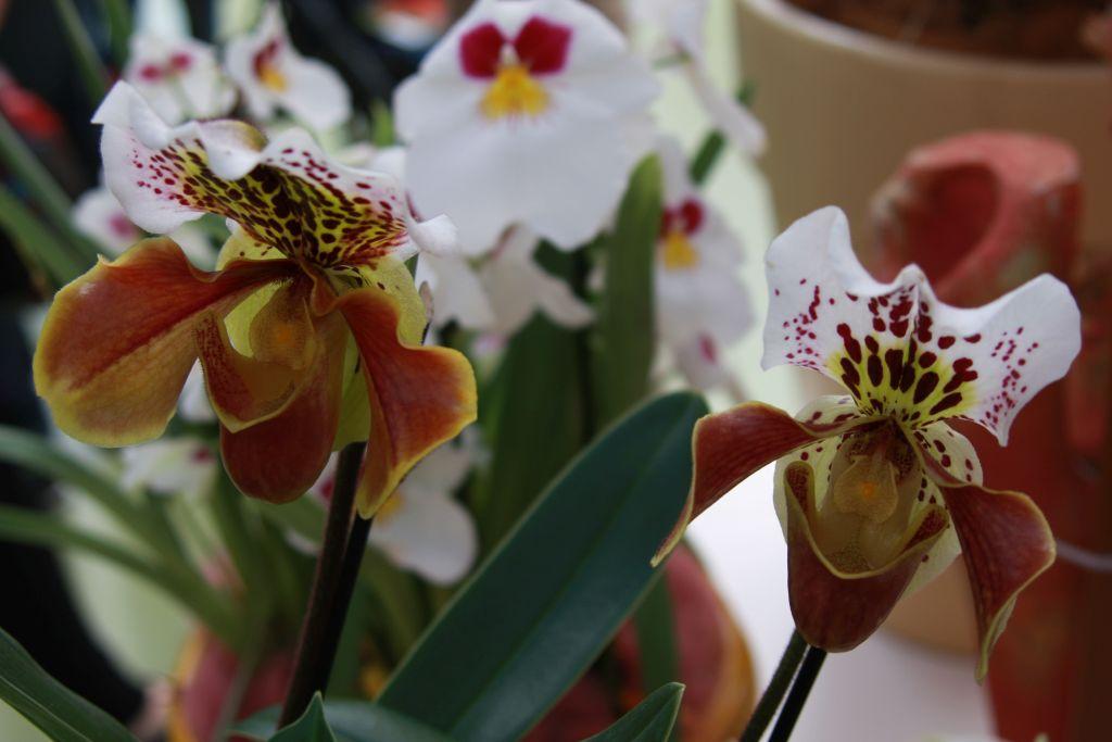 exotische Orchidee im Keukenhof bei Amsterdam