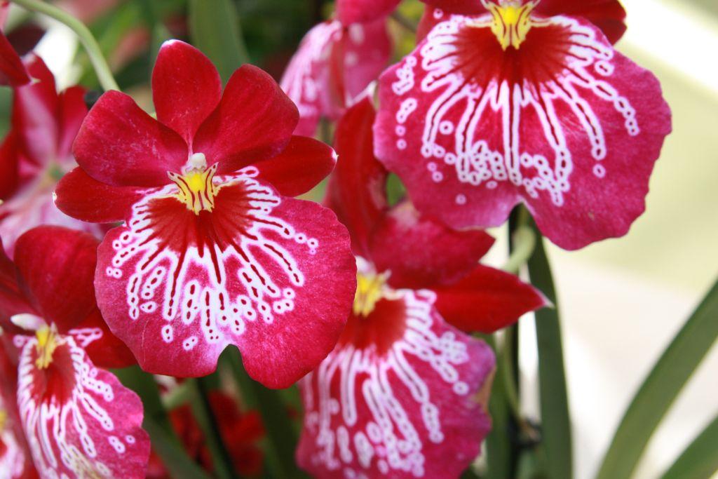 rot-weisse Orchidee im Keukenhof bei Amsterdam