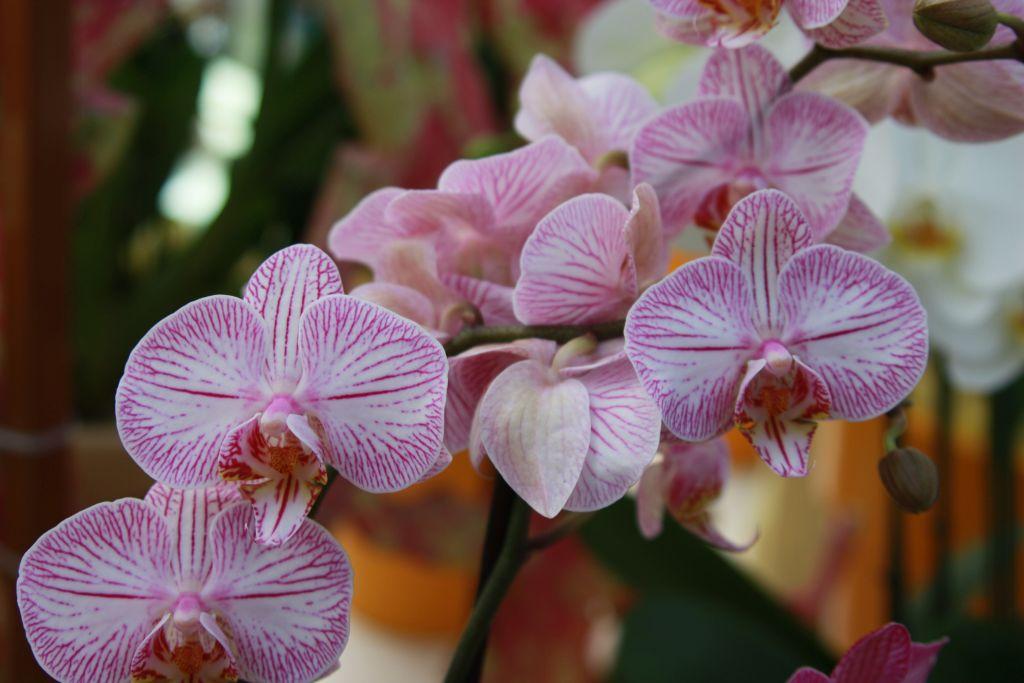 rosa-weiss gestreifte Orchidee im Keukenhof bei Amsterdam