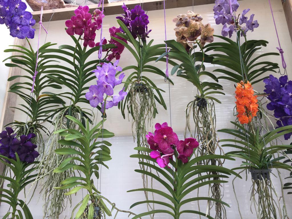 bunte Orchideenvielfalt mit Wurzeln aufgehaengt im Keukenhof bei Amsterdam