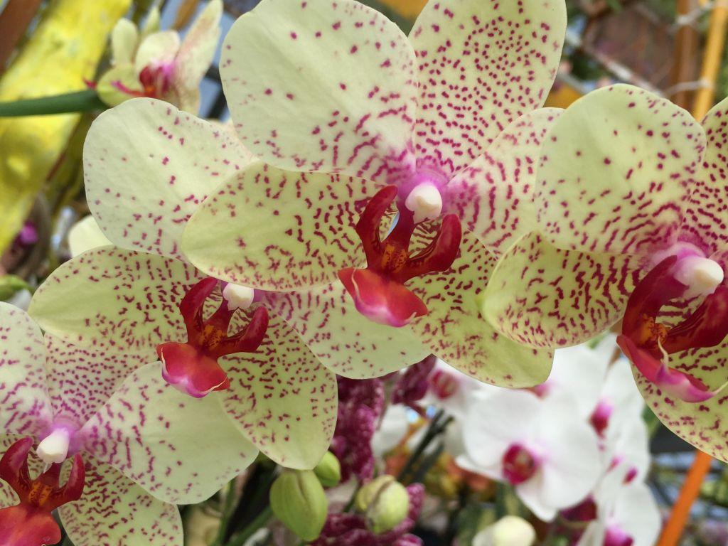 zitronengelb-rosa Orchidee im Keukenhof bei Amsterdam