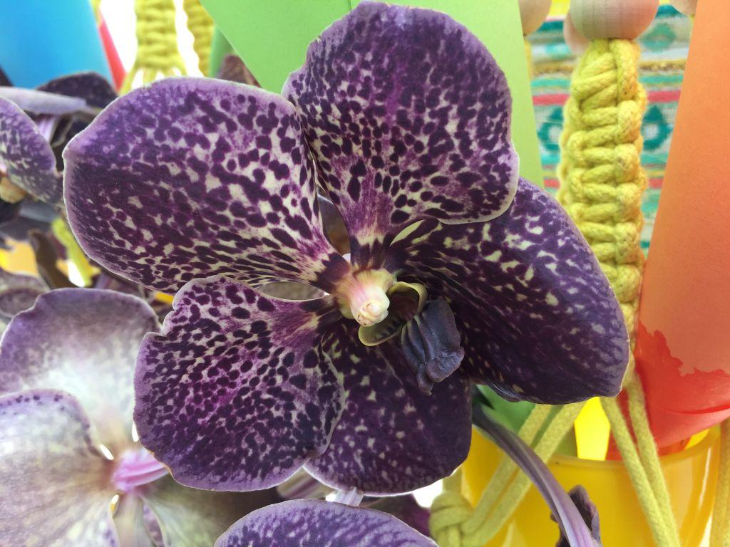 dunkelviolette Orchidee im Keukenhof bei Amsterdam