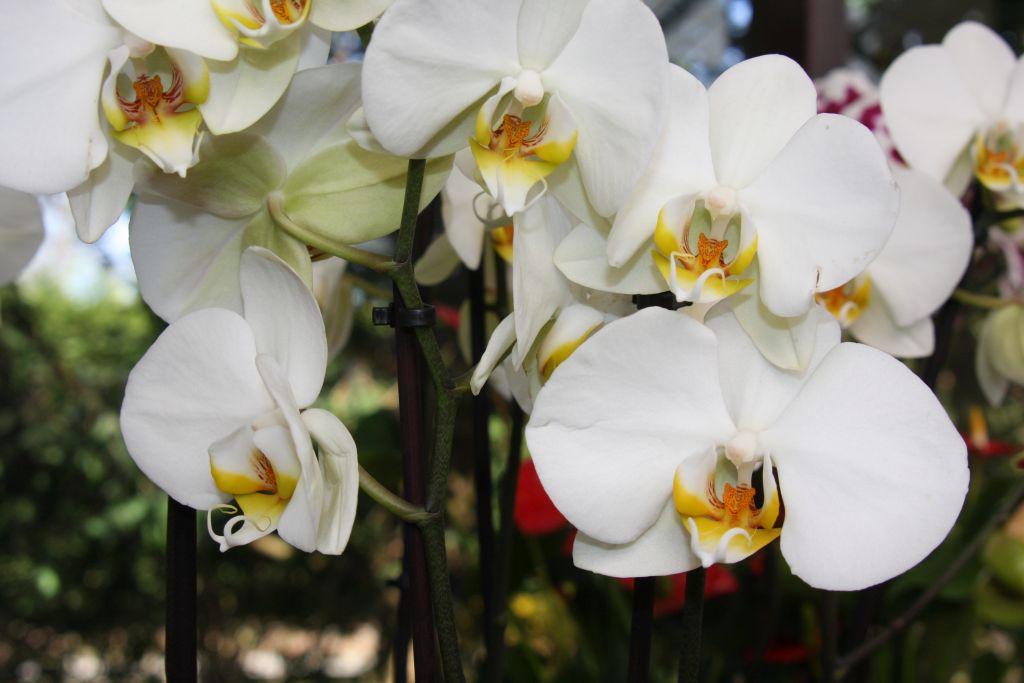 weisse Orchidee im Keukenhof bei Amsterdam