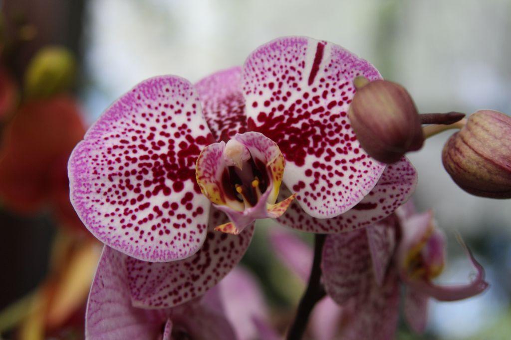 rosa-purpur gefaerbte Orchidee im Keukenhof bei Amsterdam