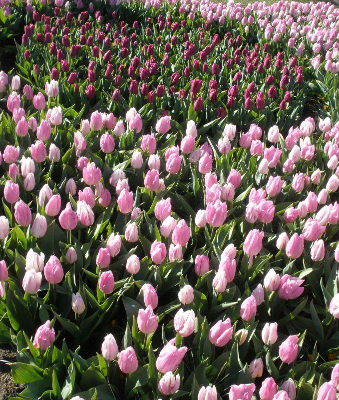 Rosa Tulpen im Keukenhof bei Amsterdam