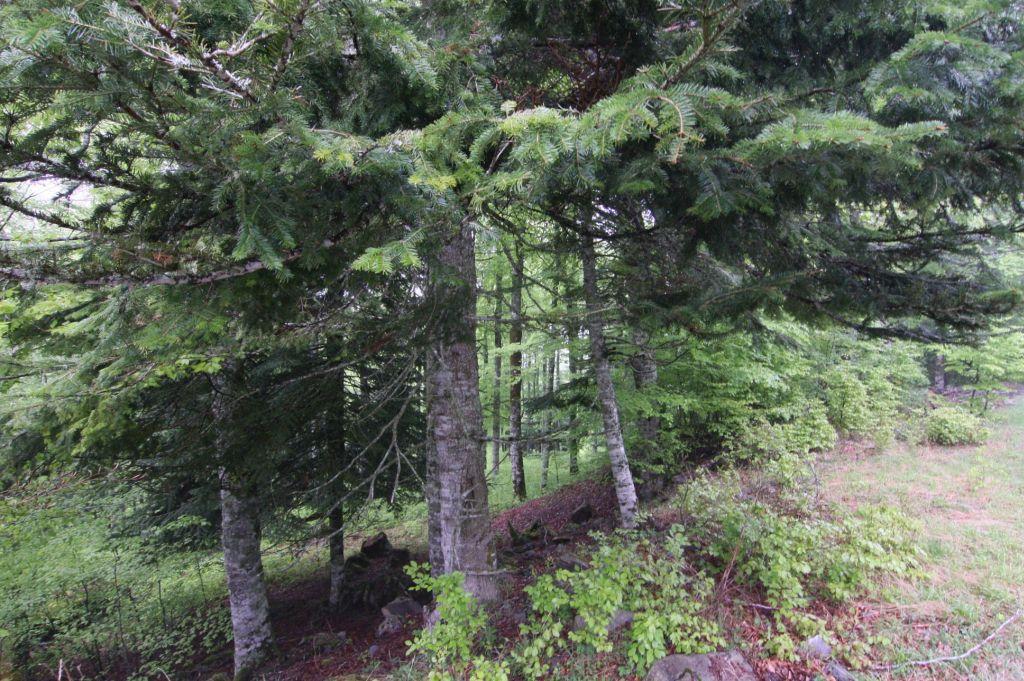 Waldstueck in den spanischen Pyrenaeen zwischen Roncesvalles und Burguete