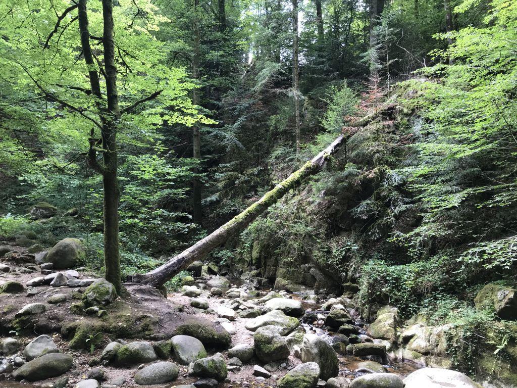 umgefallener Baum beim Geroldsauer Wasserfall im Nordschwarzwald