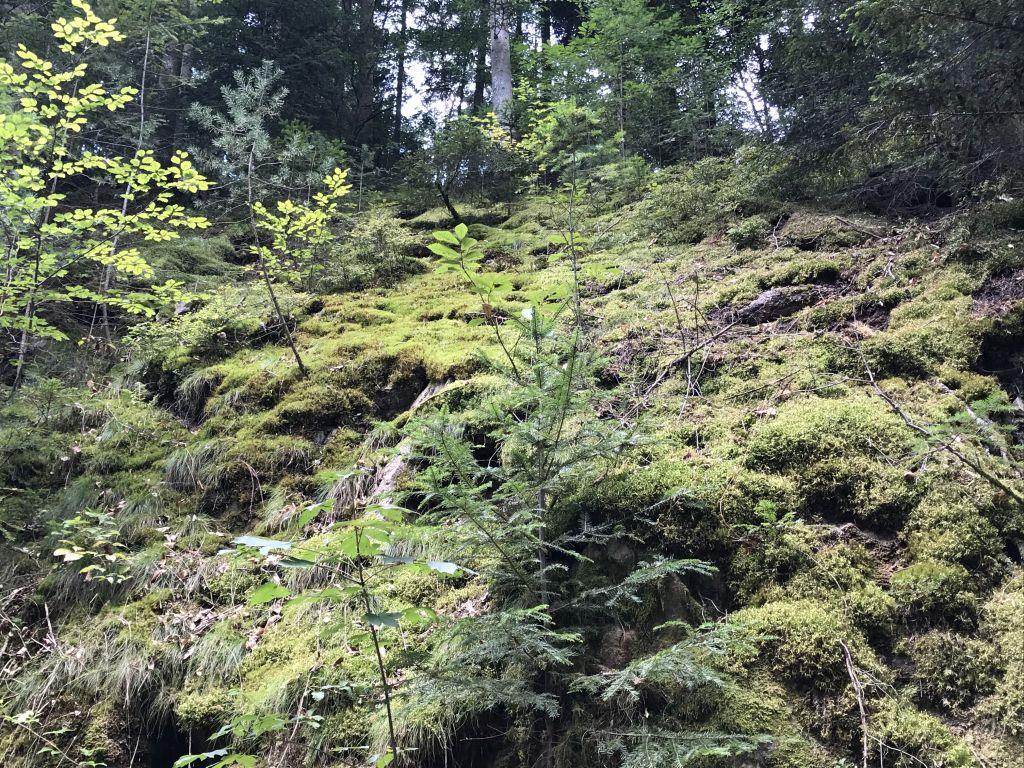 moosueberzogener Waldabhnag beim Geroldsauer Wasserfall