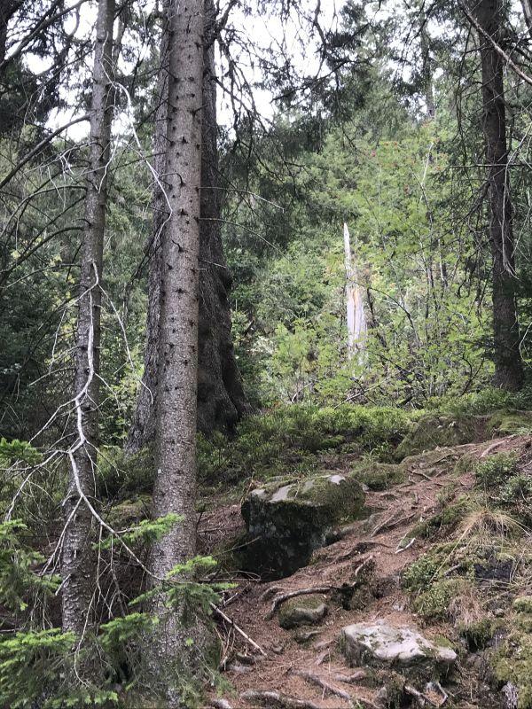 Tannenwald am Mummelsee im Nordschwarzwald