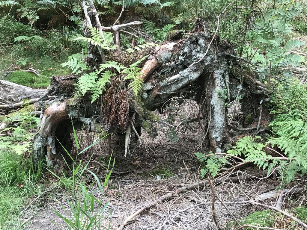 abgestorbene Baumwurzel entlang des Rundwegs am Mummelsee