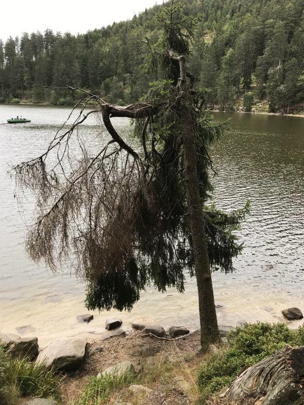 abgestorbene Tanne am Ufer des Mummelsees