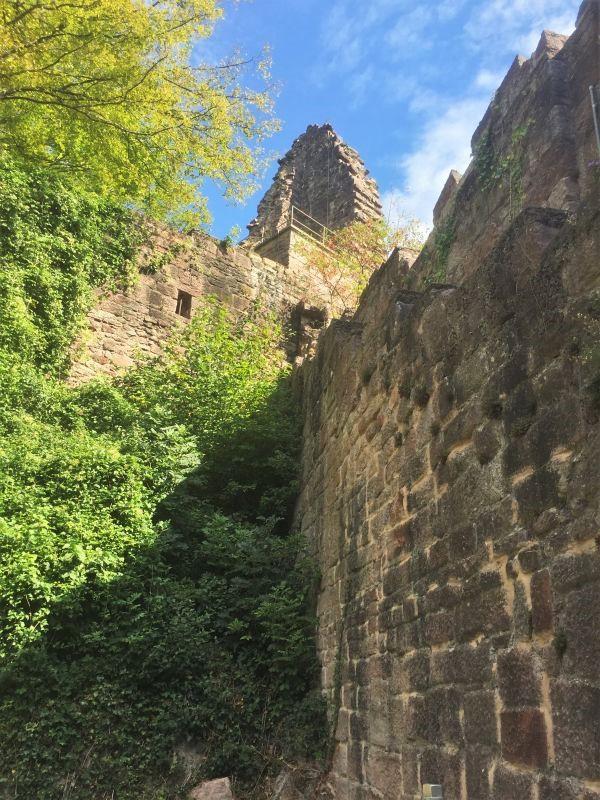 Blick vom Zwinger auf die Ruine des oestlichen Bergfrieds der Yburg im Rebland