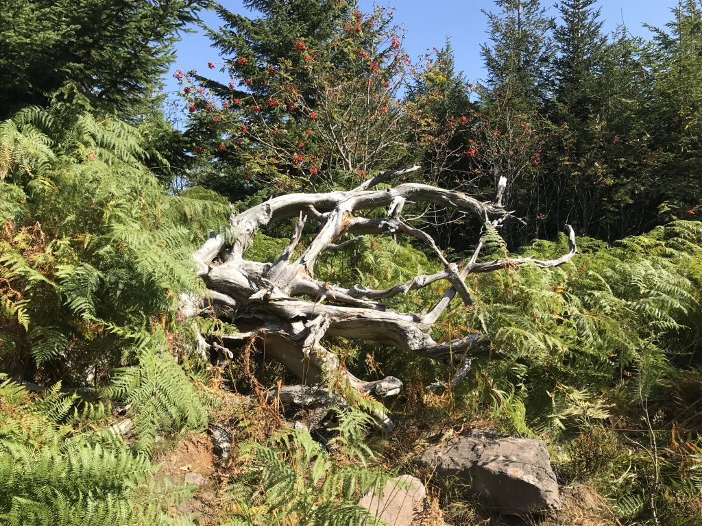 Wurzelkunst und Wildnis im Nordschwarzwald