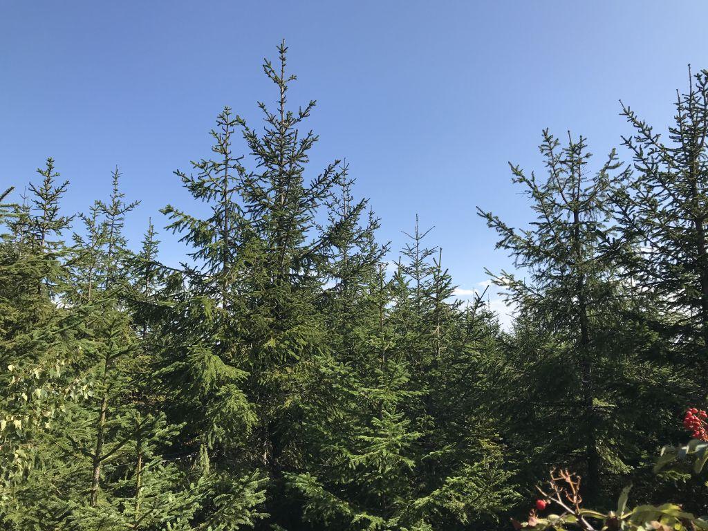 dichter Tannenbestand im Schwarzwald