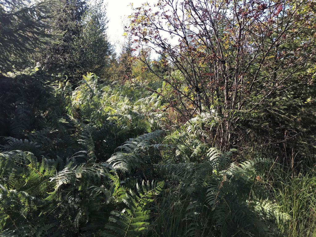 Blick in dichten Baum- und Farnbewuchs am Lotharpfad