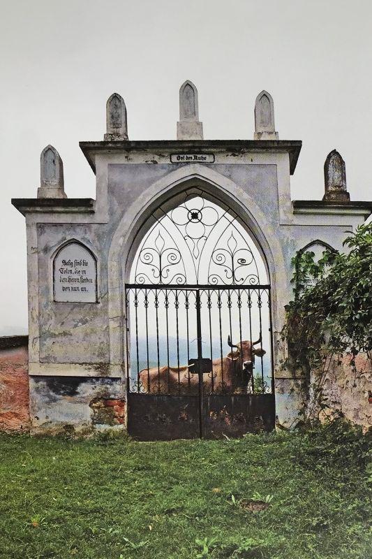 Kuh auf dem Freidhof von Dobring in Siebenbuergen aus dem Bildband Stillleben nach dem Exodus von Peter Jacobi