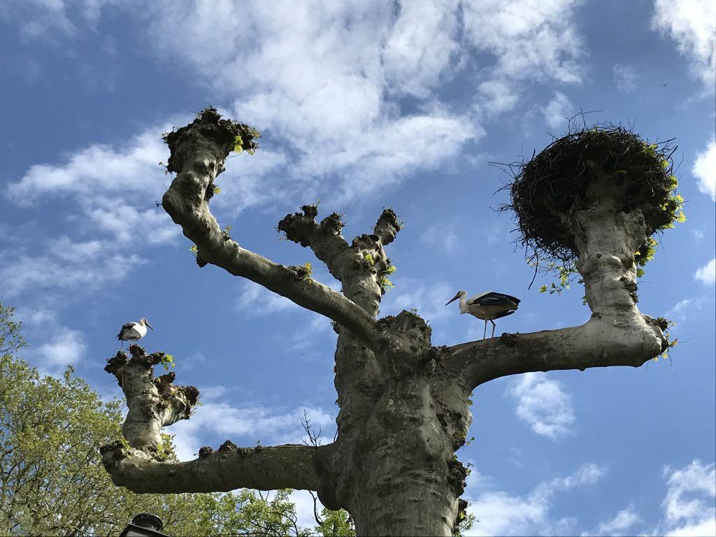 Storchennester im Orangerie-Park in Strassburg